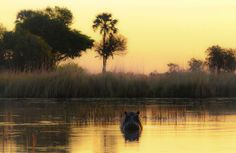 Sunset in Moremi Game Reserve. Hippo staring at us in the sunset.