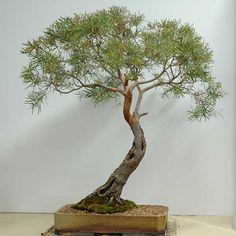 Google Image Result for http://www.anbg.gov.au/bonsai/images-large/DSC_1468.jpg