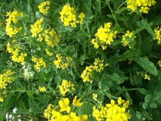 Wild turnip (Brasica rapa ssp silvestris): Edible flowers and younger leaves. Fry or steam leaves for a few seconds.