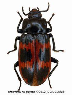 Tenebrionidae Gen sp3