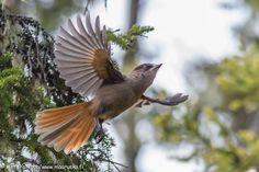Rufous bird in taiga forest by Antero Topp