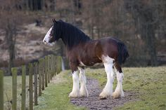 Clydesdale Stallion II by Stepham10, via Flickr