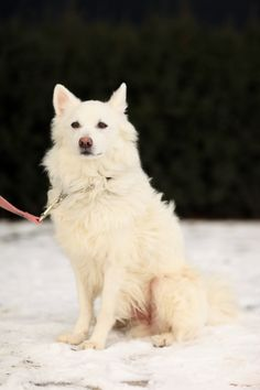 """- American Eskimo Mix- 4 Years Old- Neutered Male- """"Delightful Dog""""Meet Phoenix a gorgeous, lively boy who is on the lookout for a new active family who enjoys playtime and adventure as much as he does. American Eskimos are great dogs and with..."""