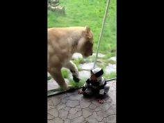 Lion tries to eat a baby