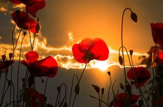 Poppies field at sunset - null