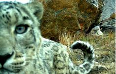 This elusive snow leopard takes a calm look into a camera trap before it continues stalking through Tajikistan.