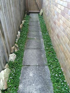 Native Australian Violets down side of house with pavers