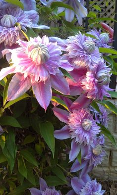 ✯ Clematis Josephine - a double bloom! Exotic Flowers, Amazing Flowers, Beautiful Flowers, Beautiful Gorgeous, Pink Flowers, Clematis Vine, Clematis Plants, Climbing Clematis, Clematis Flower