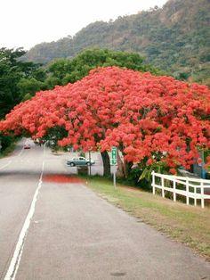 Flamboyan rojo en todo su esplendor, Puerto Rico