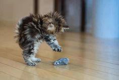Kitten attack!