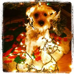 A dollup of schnauzer and a dash of poodle plus a string of lights: Seth Bullock the Xmas Schnoodle.