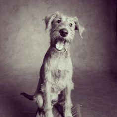 Pilot the Irish Terrier