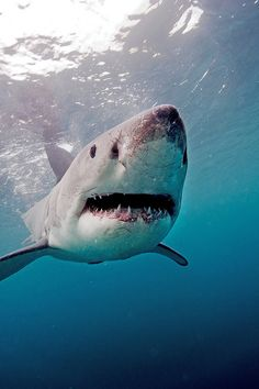 Great White: Dangerous yet majestic creature of the depths. Even SHARKS deserve respect as GOD's wonderful creatures.