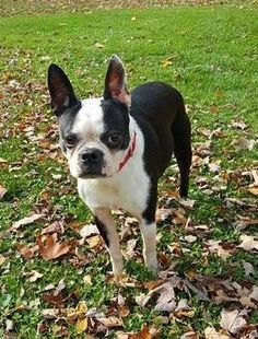 CHLOE is an adoptable Boston Terrier searching for a forever family near Lisbon, OH. Use Petfinder to find adoptable pets in your area.