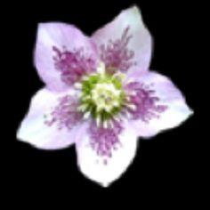 Hawii flower!