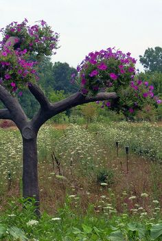 1000 Images About Petunia Trees On Pinterest Tree
