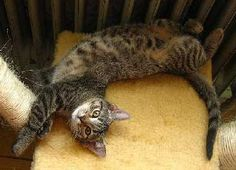 """Comprendre son chat : conseils pour décrypter son comportement : Nos petits félins domestiques ont plusieurs moyens de se faire comprendre : des miaulements bien sûr, mais aussi des attitudes et des mimiques. Et vous, savez-vous """"parler chat"""" ? Voici un petit guide pratique pour mieux comprendre son chat."""