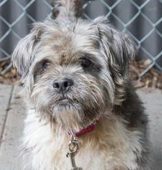 Meet Jack, a 12.5 yr. old Yorkshire Terrier/ Spaniel mix looking for a forever home. Available at Animal Welfare Society of Monroe, Stroudsburg,PA.