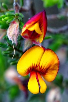 ✯ Bushpea... .See more #flower pics at www.fabuloussavers.com/wflowers.shtml