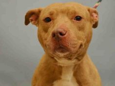 PULLED BY AMSTERDOG - 02/08/16 - **HAS SHELTER COLD** - TO BE DESTROYED - 02/08/16 - FARZANA- #A1063846 - Urgent Manhattan - FEMALE CREAM/WHITE AM PIT BULL TER MIX, 4 Yrs - STRAY NO HOLD Intake Date 01/28/16 Due Out 01/31/16 - FRIENDLY BEHAVIOR - 02/03 SEEN COUGHING, NASAL DISCHARGE, START DOXY, MOVE TO ISO