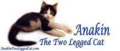Anakin The Two Legged Cat--an amazing little kitty who was born without hind legs.