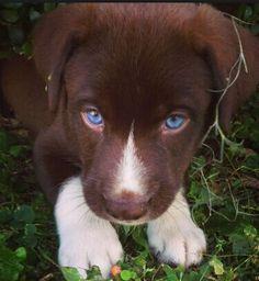 labrador retriever mix - Look at those eyes