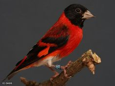 Red Siskin, South America