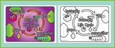 Butterfly Life Cycle Poster...Butterfly life cycle poster, outlining the four separate stages that butterflies undergo before they achieve complete metamorphosis. #insects #minibeasts