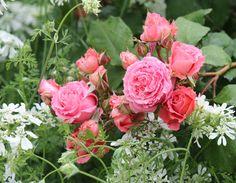 ギヨーローズ 'アンスティチュ・ルミエール' Guillot Rose 'Institut Lumiere'