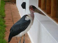 Ngorongoro Farm House: Caribou Stork