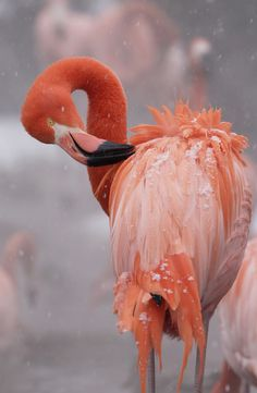 phototoartguy:    Flamingo at National Zoo (by Smithsonian's National Zoo)
