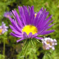 Purple Prairie Aster Tanacetifolia Flower Seeds 50 by Rare Flowers, Yellow Flowers, Colorful Flowers, Wild Flowers, Annual Flowers, Planting Bulbs, Planting Seeds, Planting Flowers, Potted Flowers
