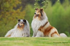 Photograph Rough Collies by Rike Bayer on 500px