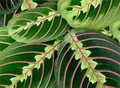 Nukkumatti, paavonnukkumatti hoito. Nukkumatto vaatii runsaasti vettä varsinkin kesällä. Peacock Plant, Calathea Plant, House Plant Care, Indoor Garden, Houseplants, Plant Leaves, Colours, Flowers, Paradise
