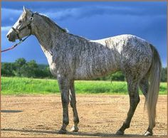This is Reckless Dan, an unusual grey brindle Quarter Horse.  Most brindle horses have dark stripes on a lighter body color, but a rare few have white stripes on a dark body color. While it is possible that white brindles are chimeric (and certainly some may be), the current thought is that the color is probably the result of a one-time mutation, probably of rabicano.