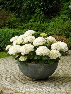 Backyard Garden With Potted White Hydrangeas Caring Tips For Potted Hydrangea Plants In Kitchen Category Container Plants, Container Gardening, Gardening Tips, Gardening Zones, Gardening Direct, Gardening Supplies, Organic Gardening, The Secret Garden, Garden Cottage