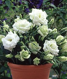 White Lisianthus. I grew this my first year in our cottage. These small plants are profuse bloomers and are gorgeous in wedding bouquets.  Also comes in a knockout shade of blue!