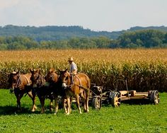 amish country - They have some impressive work horses
