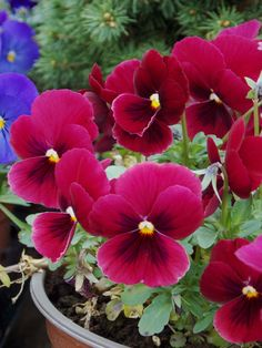 viole crvene