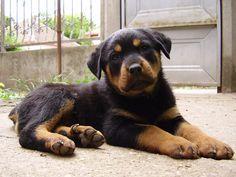 cute rottie pup.