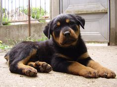 cute rottie pup
