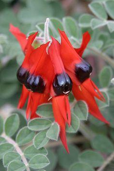 **Sturt Desert Pea - my home state South Australia's floral emblem Flora Flowers, Unusual Flowers, Unusual Plants, Cool Plants, Amazing Flowers, Red Flowers, Beautiful Flowers, Australian Native Garden, Australian Native Flowers