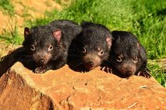 Baby Tasmanian Devils at Trowunna Wildlife Park. Photo by Dan Fellow. Article by Carol Haberle for Think Tasmania.