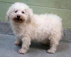 SUPER URGENT 03/11/17 Manhattan Center SHEEPIE  – A1105896  FEMALE, WHITE, POODLE MIN MIX, 10 yrs STRAY – ONHOLDHERE, HOLD FOR ID Reason STRAY Intake condition EXAM REQ Intake Date 03/11/2017, From NY 10456, DueOut Date 03/18/2017, I came in with Group/Litter #K17-090681.