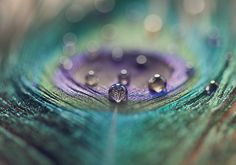 Morning dew on a peacock feather.