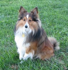 KEILO...CIN, OHIO....We don't know if we will ever find a home for Keilo, but we are trying.  Keilo is a smaller sheltie who was surrendered to us when he bit his owner.  Since we where not there to see what actually happened, we decided to take him in and give him a...