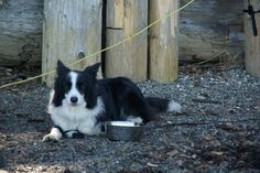 Our Boy, Jamie, rescue dog for Aspen Springs CO, now happy and crazy in Nanoose Bay