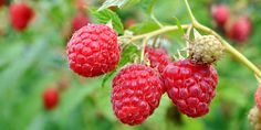 Everbearing Red Raspberry Bush: Planting, Care, Pruning and Harvesting Instructions