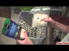 How To Care/Breed Dubia Roaches- ClassyHerps...roaches mature at five months