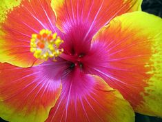 hawiian flower Hawaiian Flowers, Hibiscus Flowers, Tropical Flowers, Exotic Flowers, Hawaiian Plants, Hawaiian Gardens, Yellow Hibiscus, Orange Yellow, Colorful Flowers
